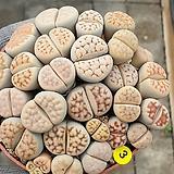 리톱스(모듬)분채배송