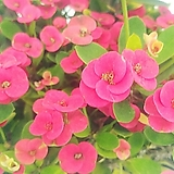 풍성~ 빨강꽃기린(중품)/꽃기린|