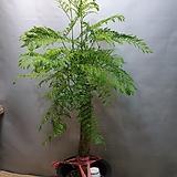 자카란다(대품) 수입식물   높이 90-110(호주식몰)  생명력 강해요|