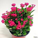 빨간 꽃기린(중소품)|
