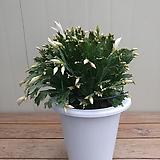 게발선인장 대품/흰꽃|