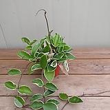 무늬호야 소품|Hoya carnosa