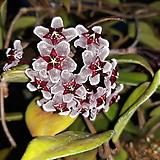 초코호야 [대]꽃개화중 사진 동일]|Hoya carnosa