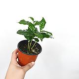 커피나무 / 플랜테리어 / 한빛농원|