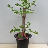 모링가나무/모린가나무|