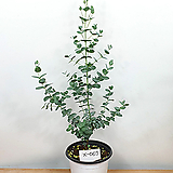 유칼립투스 / 비염효능 / 공기정화식물 /사진상품발송 X-067/ 한빛농원|