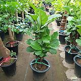 떡갈고무나무|Ficus elastica