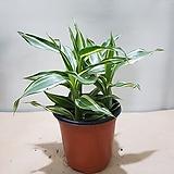 산데리아나 빅토리아  드라세나  공기정화식물|Dracaena