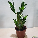 연화죽  행운목 수경재배식물|
