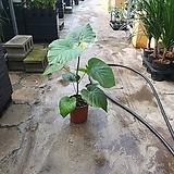 휘커스움베르타 초초초초 좋음 공기정화식물 55~70cm|