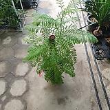 자카란다수입식물호주식물 70~100cm|