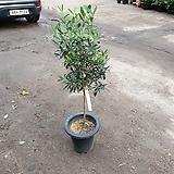 올리브나무 20개 한정특가 그냥 초특가 입니다 80~110cm|