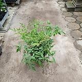 남천 월동됨 최고의식물 50~70cm|