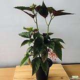 목베고니아|Begonia