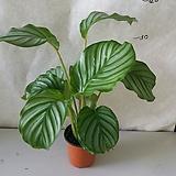 칼라데아/오르비폴리아/수입식물|
