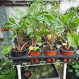 스팅레이알로카시아 소품 20~30cm 잎 2~4개|Alocasia