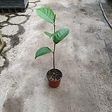 잭프룻열매과실수 수입열매 식물 25~40cm|