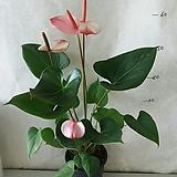 천상의 투톤 안시리움|Anthurium andraeaeanum
