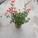 랜디제라늄 엔젤아이스 20~30 cm 묵은둥이|Geranium/Pelargonium