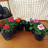 임파첸스 5개세트(6가지색상중 선택)여름꽃,가을꽃|