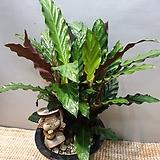 칼라데아루비바르바 (중품) 수입식물  잎이 이국적인 느낌이에요 높이(40-60)|
