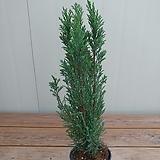 유럽편백나무 에루디|
