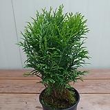 유럽측백나무 리틀자이언트|