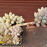 베이비핑거 0675|Pachyphytum Machucae (baby finger)