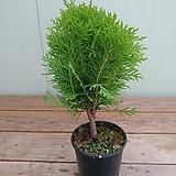 유럽측백나무 데니카|