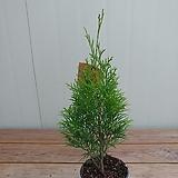 유럽측백나무 에메랄드그린|