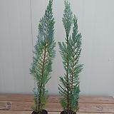 유럽측백나무 칼럼나리스|