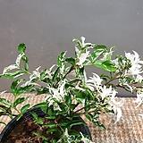 워터자스민 (수입식물)  눈이 덮인것처럼 새하얀색이에요|