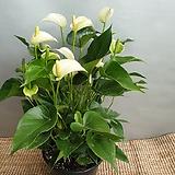 흰색안시리움( 대품)  한정판    탐스러운아이에요 높이 55-65|Anthurium andraeaeanum