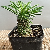 귀요미 괴마옥( 소품)  높이( 화분포함되지않고 5-7 센치정도에요)|Euphorbia hypogaea