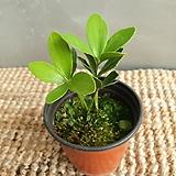소철 소품 공기정화식물 25~30cm