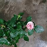 장미 소품 꽃 초화 15~25cm 색상랜덤 발송|
