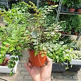 단추고사리 신상품 수입식물 20~30cm|