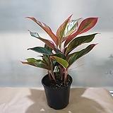 오로라  아글레오네마오로라  대품|Sedum rubrotinctum cv.Aurora