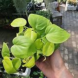 옥시카르디움라임 수입식물 형광스킨 10~20cm 늘어짐|
