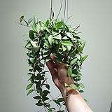 호야로시타그린 중대품 수입식물 공중식물 709014980|Hoya carnosa