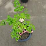 모링가나무进口식물10大푸드608029915