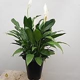 스파트필름  실 내식물  공기정화식물|