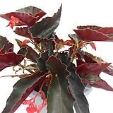 콕치네아베고니아(중품)|Begonia