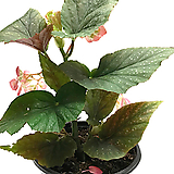 엔젤윙베고니아(중품)|Begonia