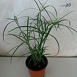 시페루스/수경재배식물|