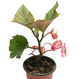 엔젤윙베고니아|Begonia