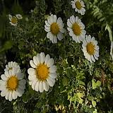 향소국(흰꽃)|