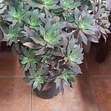 데커룸(까라솔)높이48/너비27|Aeonium decorum f variegata