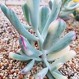 원종복랑금|Cotyledon orbiculata cv variegated