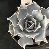 릴리시나46|Echeveria lilacina
